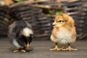 Eier-Abos: jetzt für 2016 anmelden