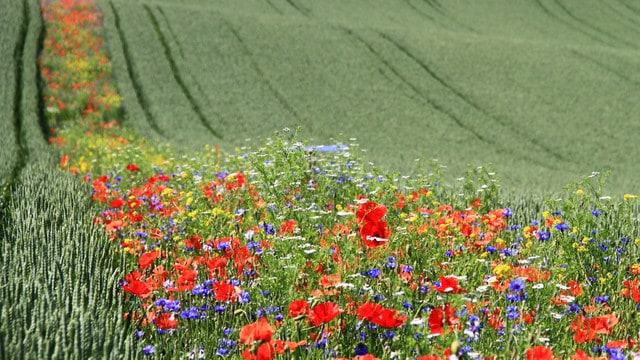 Blühender Acker bei der Gartenkooperative: Nützlingsblühstreifen